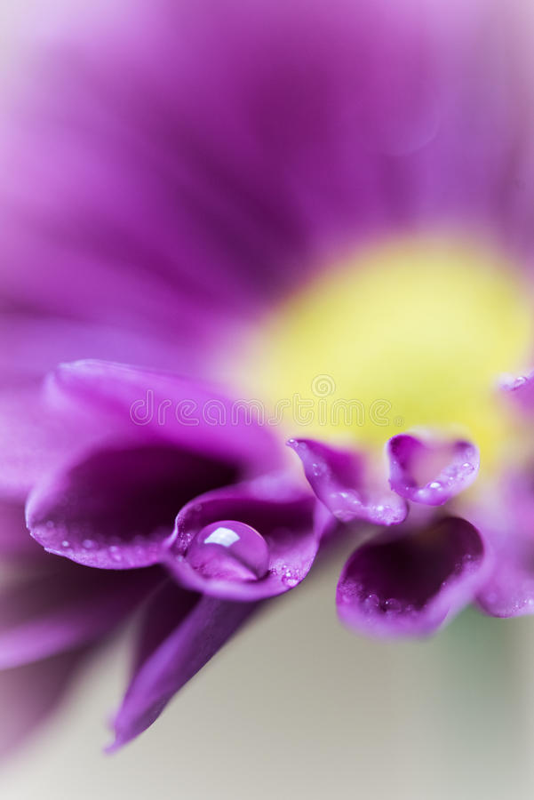 Purple Daisy with a water drop. A maco of a waterdrop on a purple daisy royalty free stock image