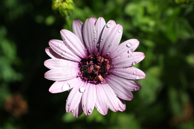 Purple Daisy with Water Drops. On it with a green background stock image