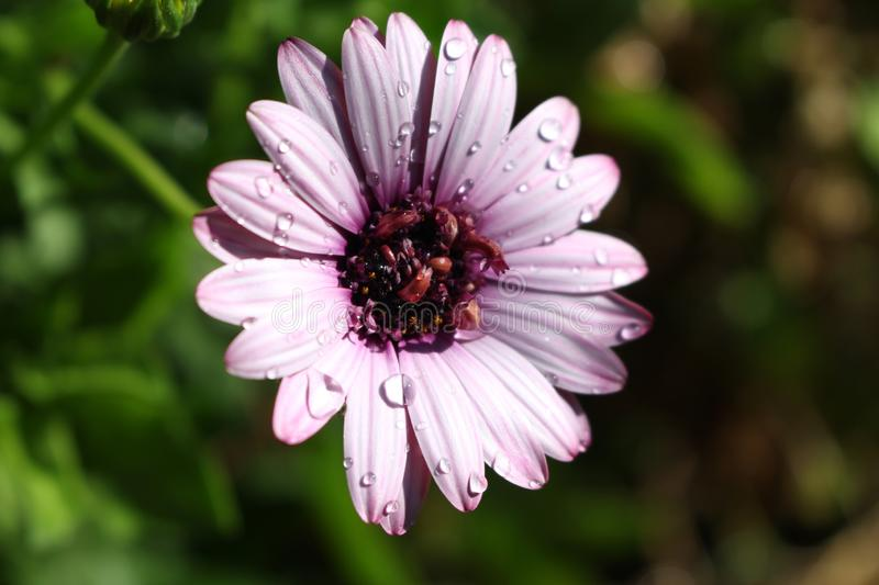 Purple Daisy with Water Drops. On it with a green background royalty free stock images