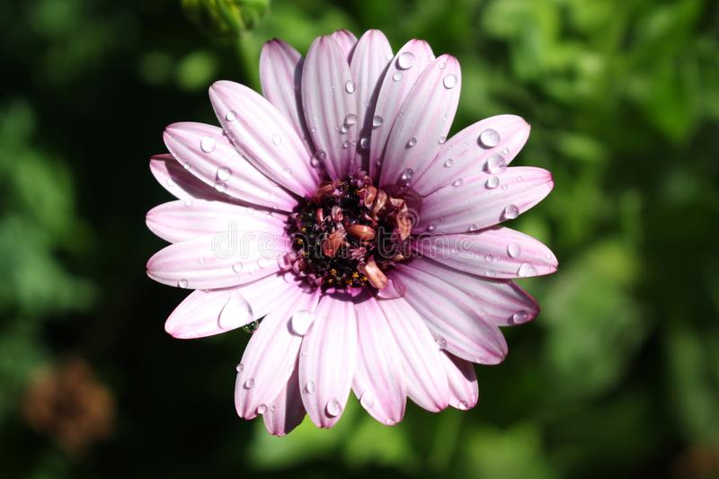 Purple Daisy with Water Drops. On it with a green background royalty free stock photo