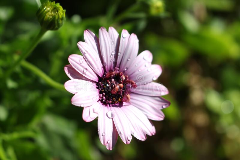 Purple Daisy with Water Drops. On it with a green blur background stock photos