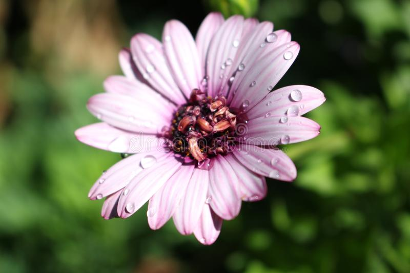 Purple Daisy with Water Drops. On it with a green blur background royalty free stock photos