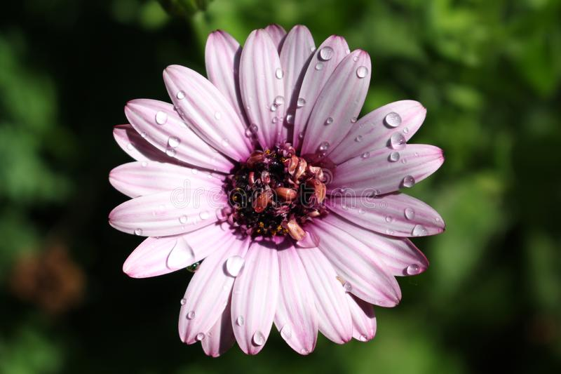Purple Daisy with Water Drops. On it with a green blur background royalty free stock photography