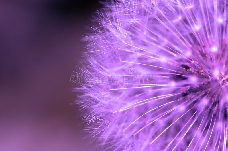 Purple dandelion. royalty free stock photos