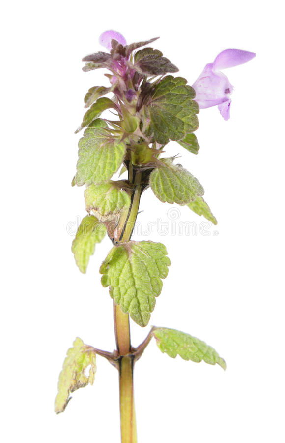 Purple dead-nettle isolated on white background. Medicinal and invasive plant. Purple dead-nettle or Lamium purpureum isolated on white background. Medicinal and royalty free stock photography