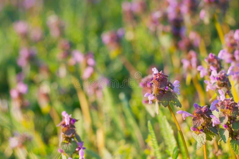 Purple Dead Nettle (Lamium purpureum) royalty free stock images