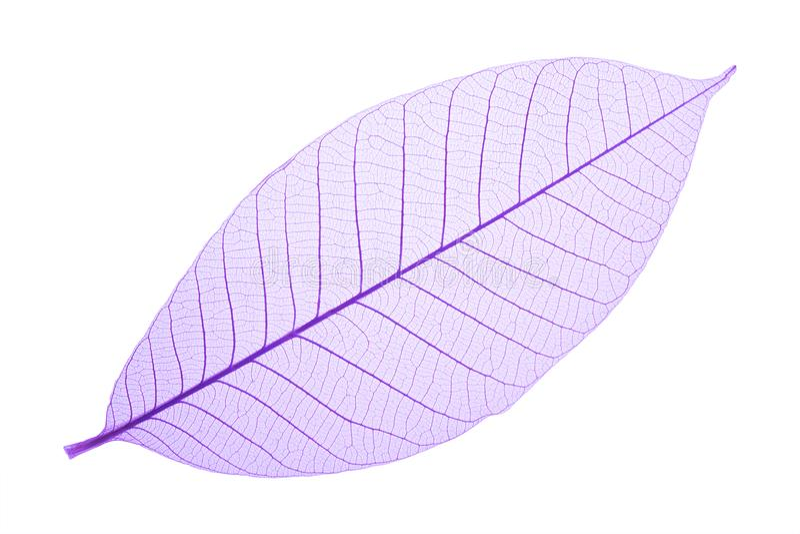 Purple decorative skeleton leaf stock images