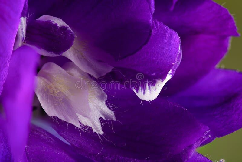 Purple Delphinium flower super macro close up. Delphinium `Black Knight` super macro close up of inside of purple flower royalty free stock images