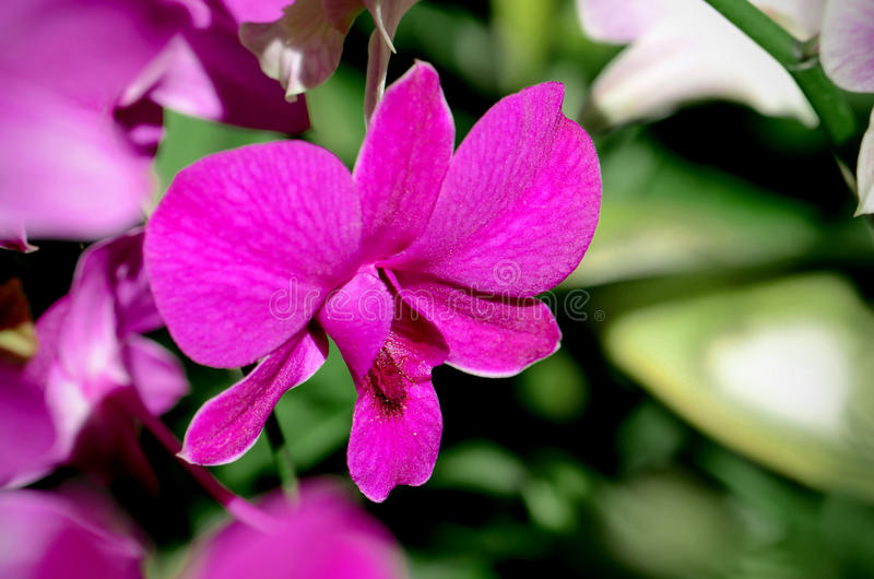 Purple Denerobium Orchids. Purple Denerobium Orchids Dendrobium Hybrid in tropical garden royalty free stock image