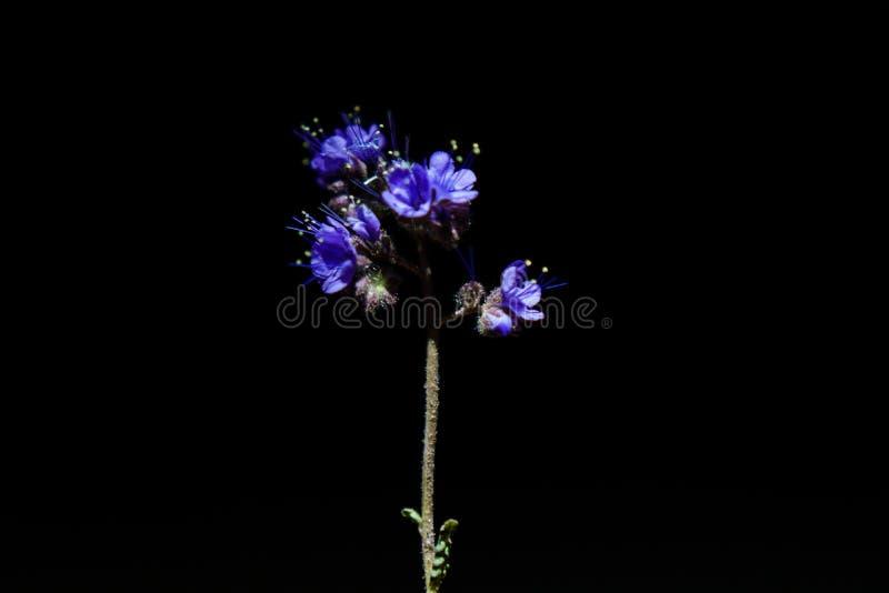 Purple desert flower. At night with a dark background stock photos