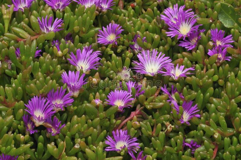 Download Purple Dewplant stock image. Image of cornwall, spring - 25655919
