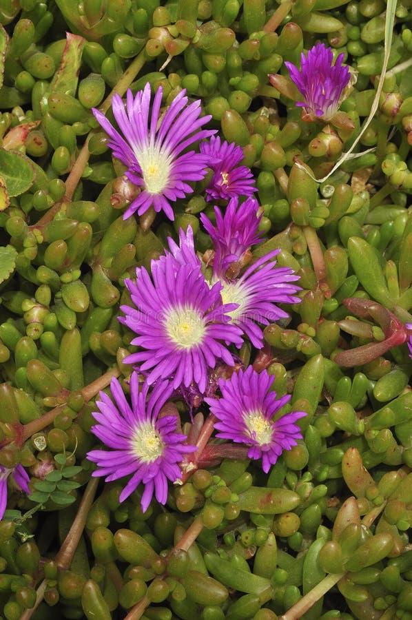 Purple Dewplant - Disphyma crassifolium stock images