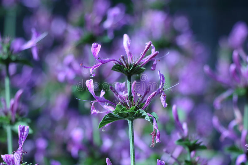 Download Only Purple stock photo. Image of garden, flower, rain - 40256512