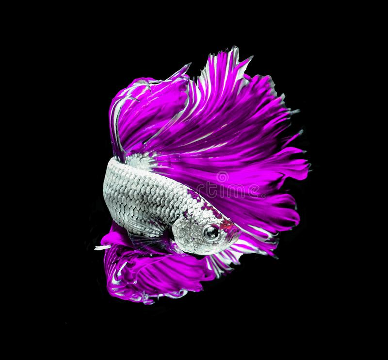 345 Betta Fish Purple Photos Free Royalty Free Stock Photos From Dreamstime