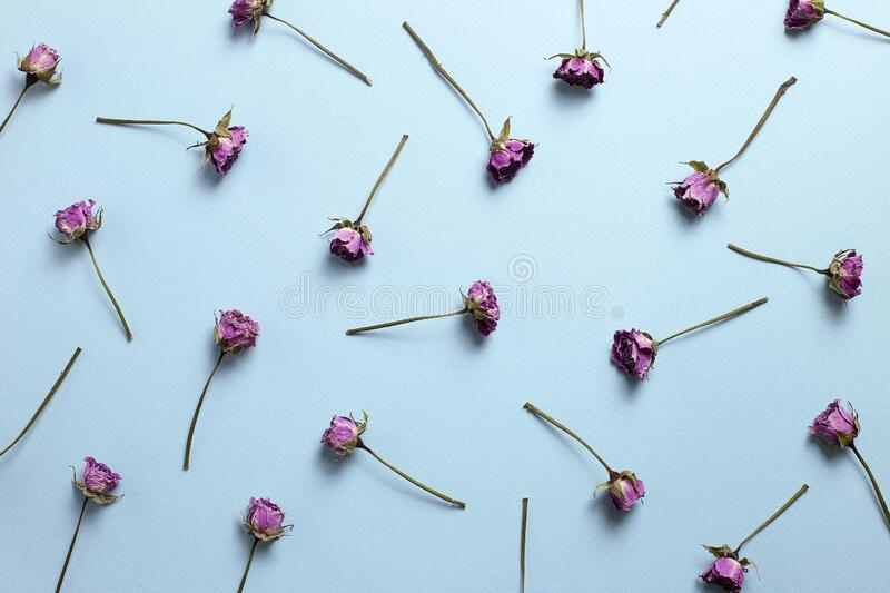 Purple dry rose flowers pattern on blue background. Floral composition, flat lay, top view stock photography