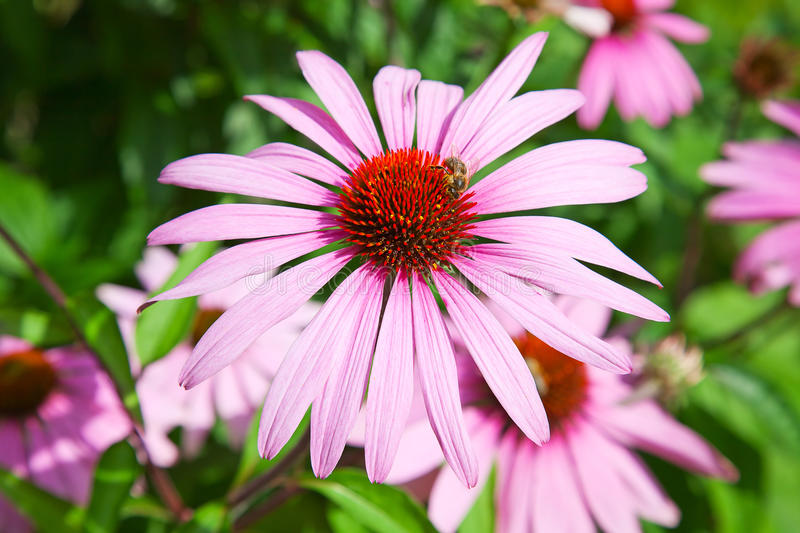 Download Purple echinacea stock image. Image of bright, field - 26169819