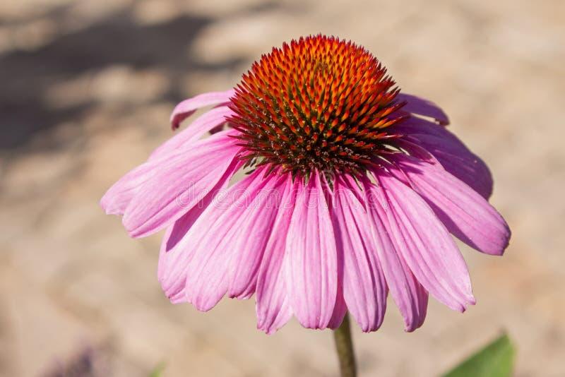 Purple echinacea flower stock photos
