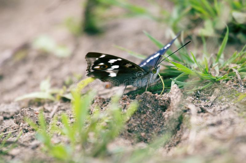 Purple emperor (Apatura iris) drinks water. (sucks moisture) on wet coastal soil. The color of the butterfly shimmers depending on the shooting angle, play of royalty free stock image