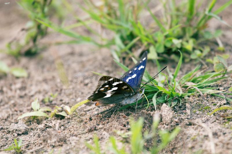 Purple emperor (Apatura iris) drinks water. (sucks moisture) on wet coastal soil. The color of the butterfly shimmers depending on the shooting angle, play of stock image