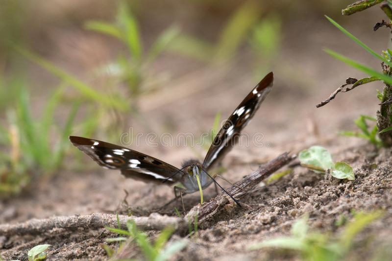 Purple emperor (Apatura iris) drinks water. (sucks moisture) on wet coastal soil. The color of the butterfly shimmers depending on the shooting angle, play of royalty free stock photos