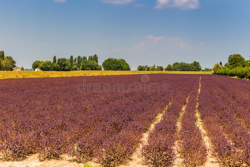 Purple ericaceae cultivated fields royalty free stock photo