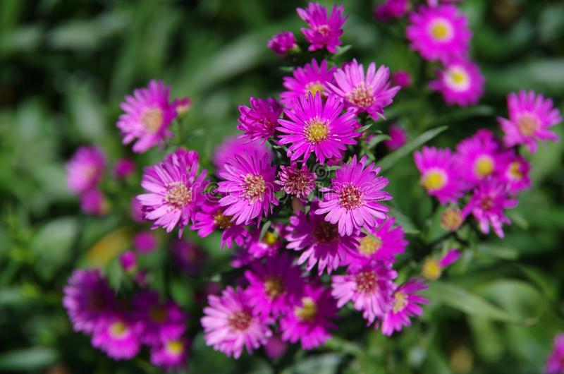 Aster amellus Daisy. Purple European Michaelmas Daisy. Honey and landmark, very beauty. Aster amellus stock photos