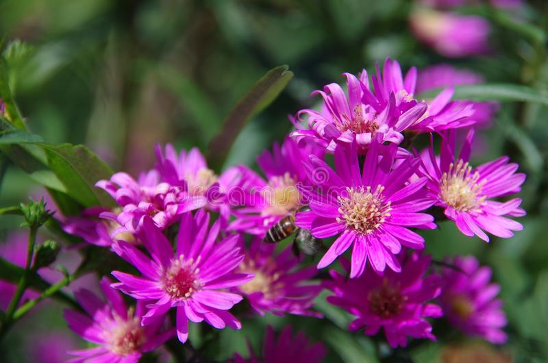 Aster amellus Daisy. Purple European Michaelmas Daisy. Honey and landmark, very beauty. Aster amellus stock photography