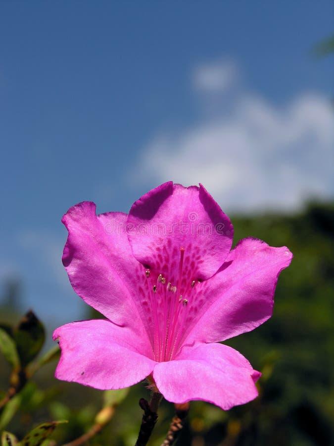 purple för blommalilja utomhus royaltyfri foto