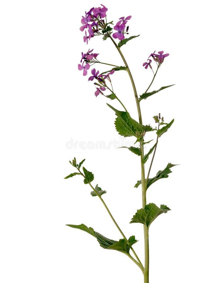 purple för växt för lunaria för annuablommaärlighet arkivfoton