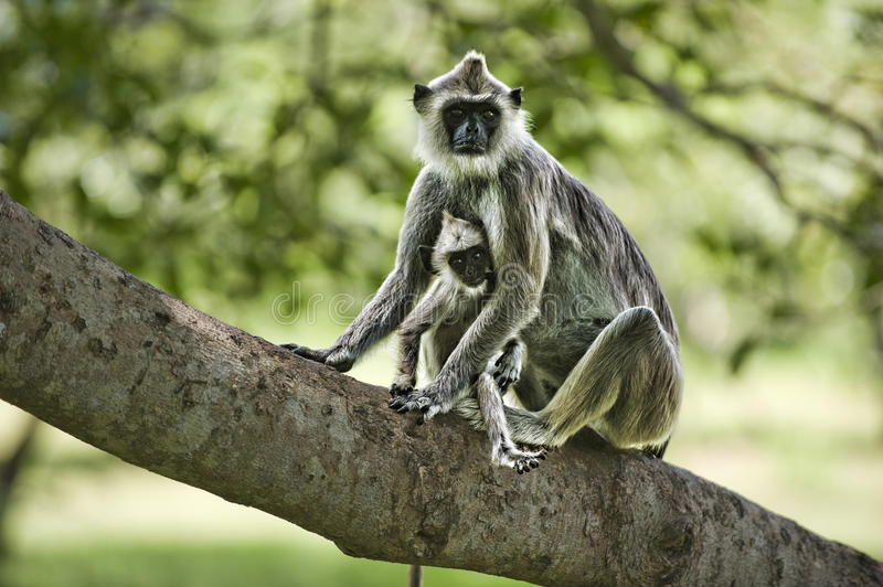 Download Purple Faced Leaf Monkey With A Baby Stock Image - Image: 16872743