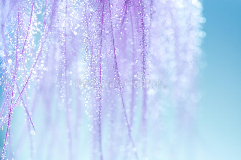 Purple feathers with small drops of water on a blue background. Very gentle and beautiful background of feathers. Macro royalty free stock images