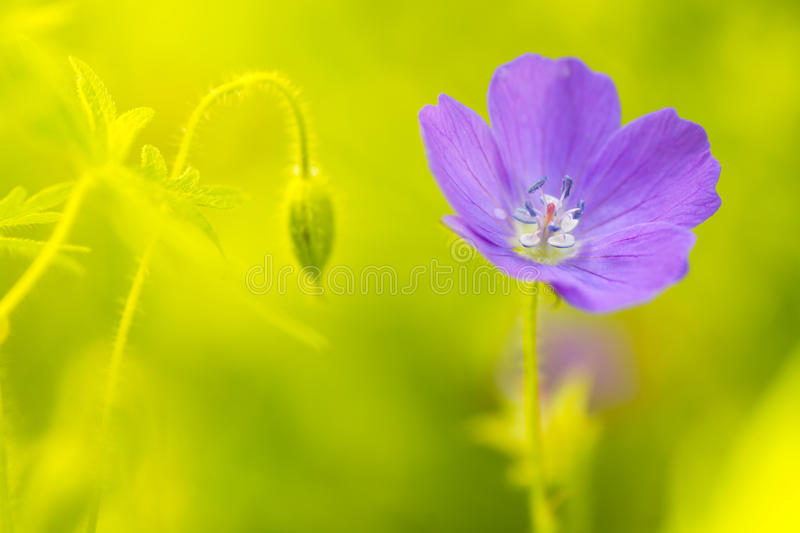 Purple field geranium. A beautiful lonely flower and flower bud. Soft focus royalty free stock image