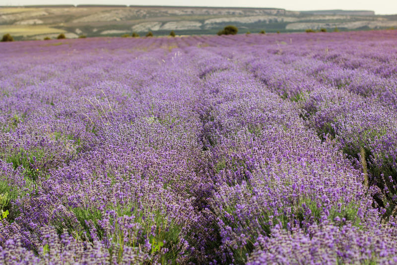Purple field of lavender flowers stock images