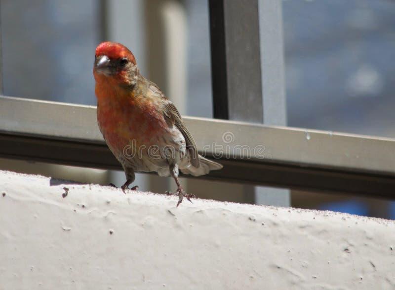 Purple finch on a balcony in Waikiki Hawaii stock photo