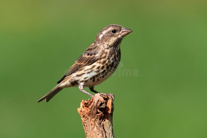 Download Purple Finch (Carpodacus Purpureus) Stock Image - Image: 16662333