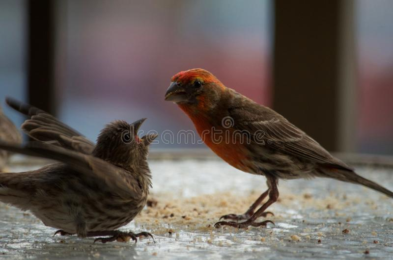 Purple finch feeding the young royalty free stock images