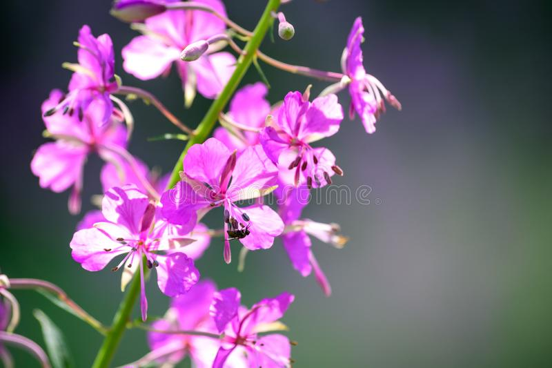 Purple fireweed flowers close up on an blur background royalty free stock photos