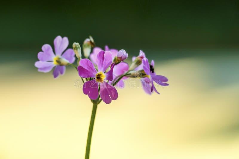 Purple fireweed flowers royalty free stock photo