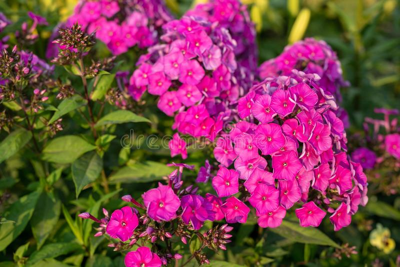 Purple flame flowers of Phlox paniculata. garden pink phlox flower. perennial phlox closeup. Purple flame flowers of Phlox paniculata. garden pink phlox flower royalty free stock photography