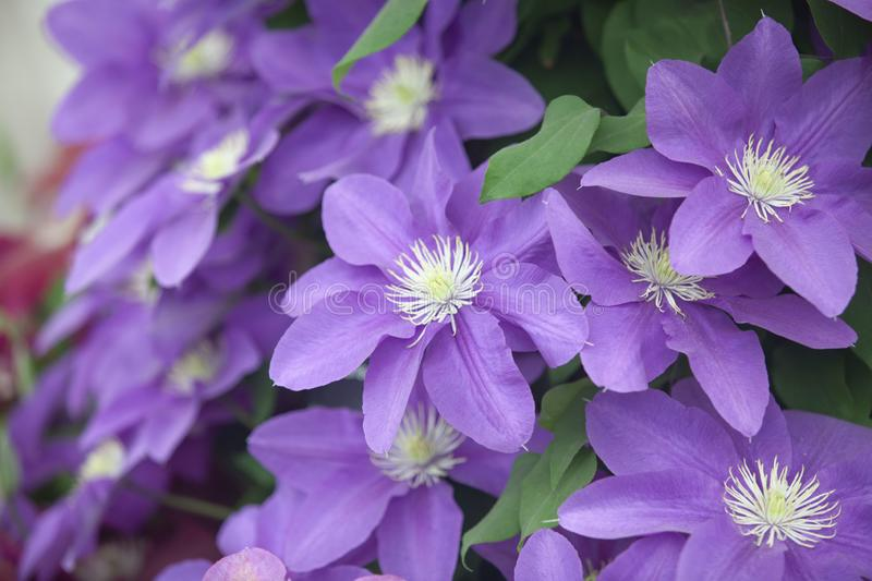 Purple floral in uk stock image