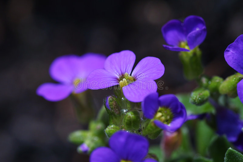 Download Purple Flower Royalty Free Stock Images - Image: 1449