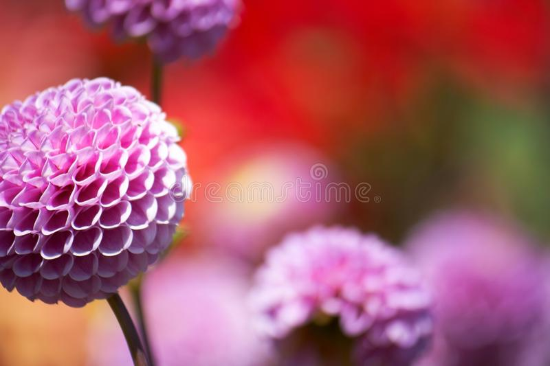 Download Purple Flower stock image. Image of color, closeup, freshness - 10342199