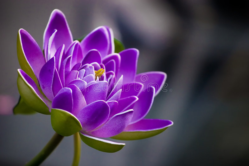 Purple flower. A beautiful green and purple flower royalty free stock photo