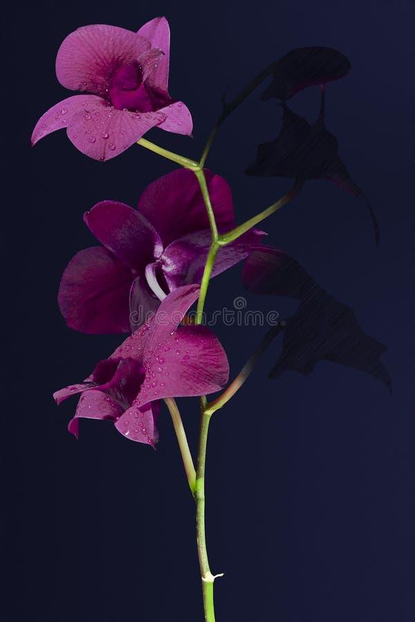 Darkside flower. Details of a purple flower. Dendrobium thailand black stock photo