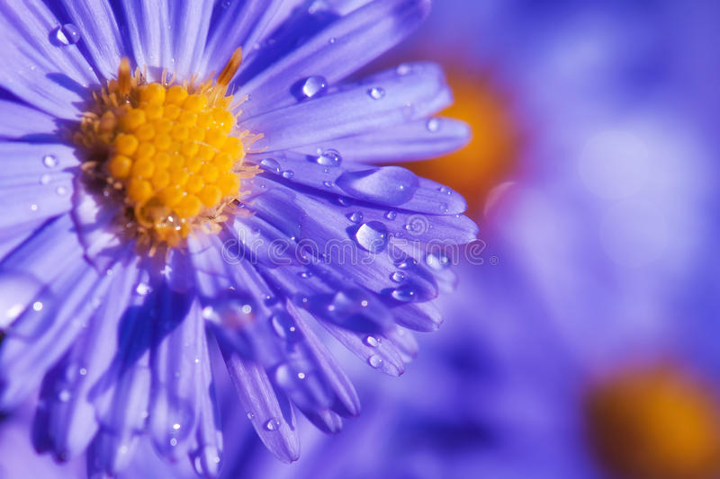 Purple flower. Beautiful purple flower with wother drops stock photos