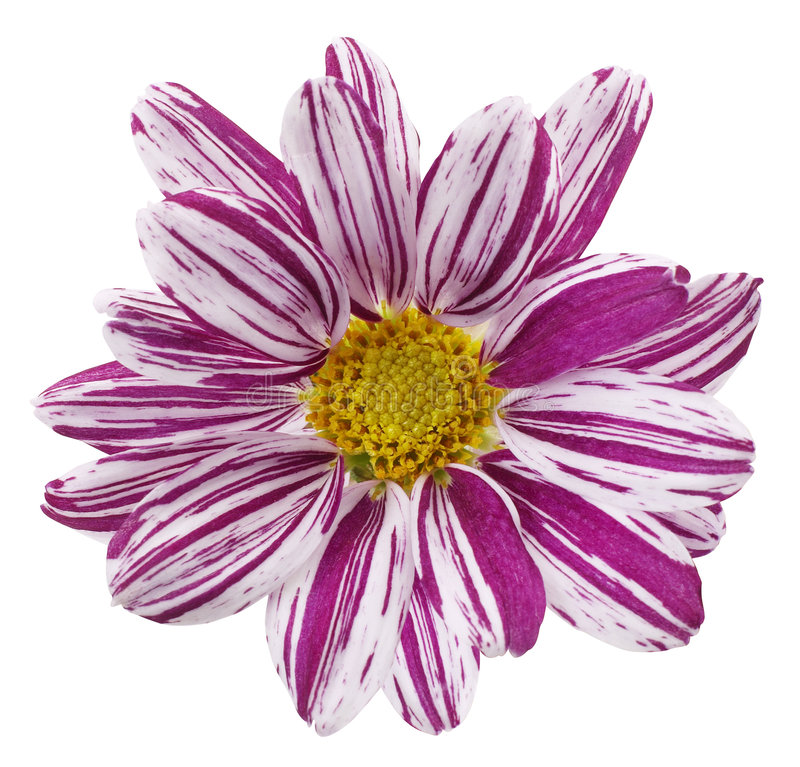 Download Purple Flower Royalty Free Stock Photo - Image: 3829555