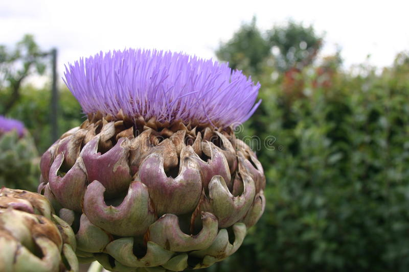 Purple artichoke like flower. With green leaves and shrubs as background stock images