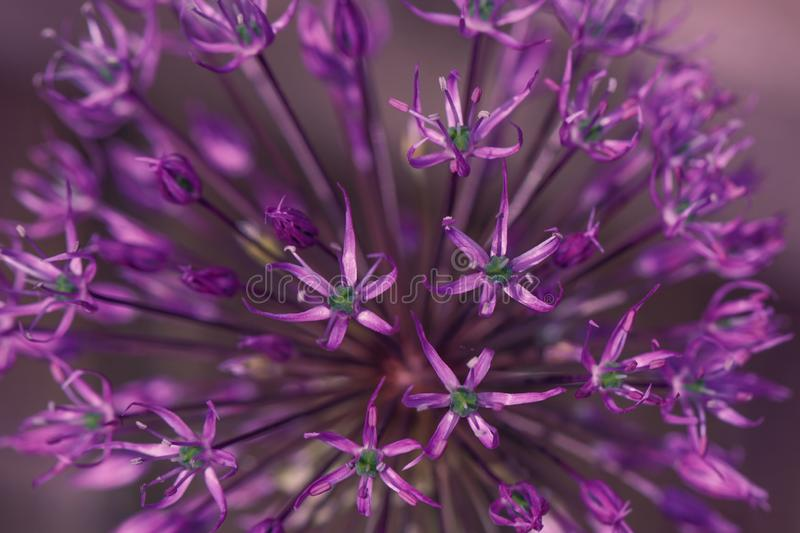 Purple flower background. Beautiful allium cristophii or persian onion close-up. Floral patterns and texture. Flower for postcard stock photos