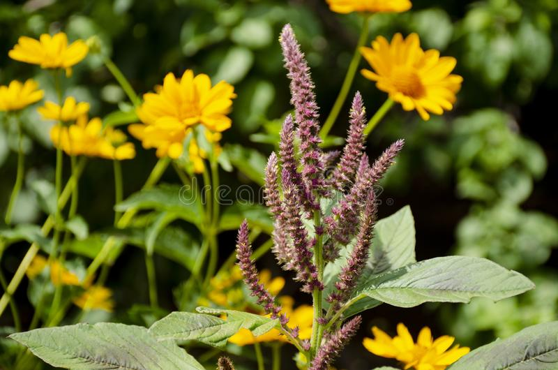 Purple flower on a background of yellow wildflowers. Blooming purple flower on a background of yellow wildflowers in a summer garden stock photos