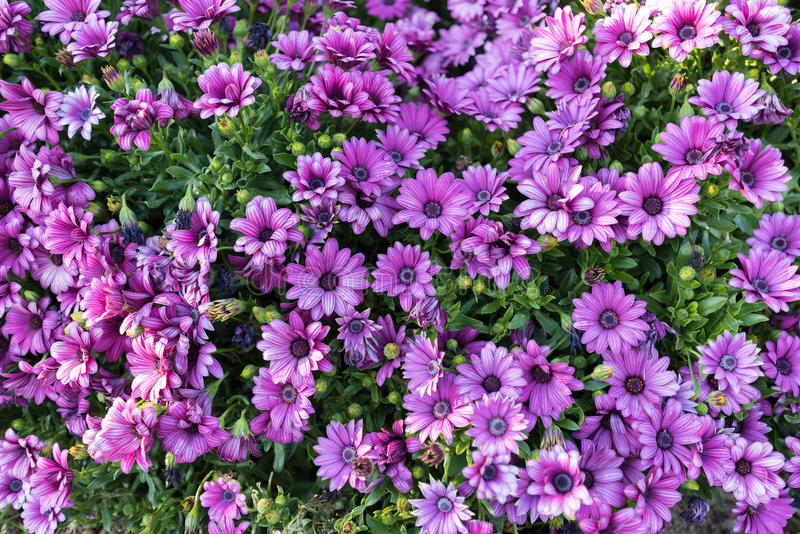 Purple flower blooming in garden stock images